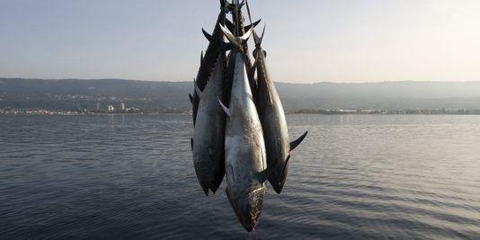 شروط الحصول على رخص جديدة لصيد التنّ الأحمر بعنوان سنة 2018