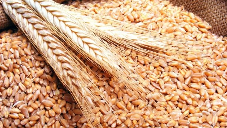 وزارة الفلاحة تخصص كميات من بذور القمح لصغار الفلاحين مجانا