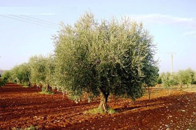 تونس الأولى عالميا في المساحات المخصصة لغراسة الزيتون البيولوجي