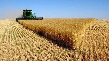 جندوبة: توقعات بإنتاج 1.5 مليون قنطار من الحبوب