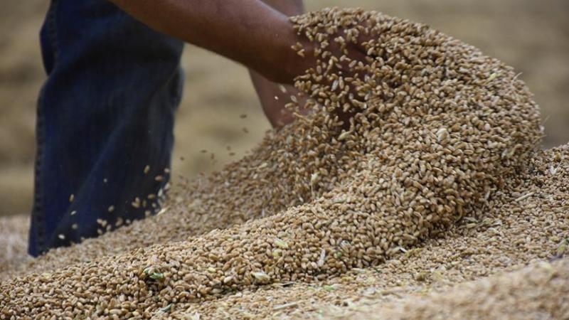 توفير كميات كافية من البذور المثبتة الممتازة لمختلف أنواع وأصناف الحبوب