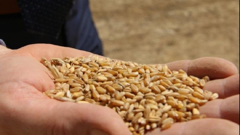 توزيع كميات من البذور الممتازة مجانا على صغار الفلاحين