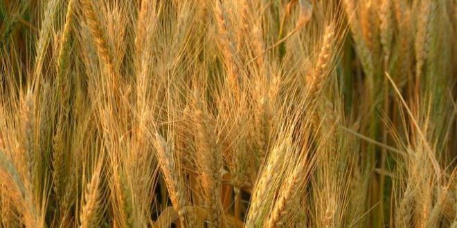 الكاف: تضرر مساحات شاسعة من الزراعات الكبرى جراء انحباس الأمطار