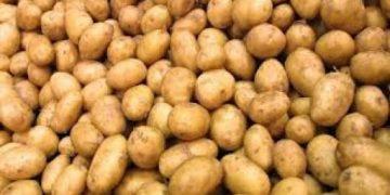 لتفادي تكاليف التوريد:وزارة الفلاحة تطلق خطة وطنية لإنتاج بذور البطاطا