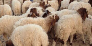 أضاحي العيد: توفر مليون و500 ألف خروف… وهكذا ستكون الاسعار لهذه السنة