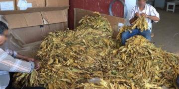 """بالصور ..الوكالة الوطنية للتبغ والوقيد تنطلق في زراعة أجود أنواع التبغ""""الفرجيني"""""""