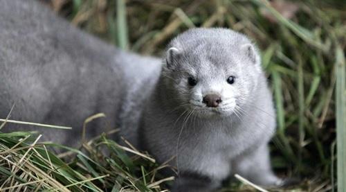 الدنمارك تنفذ إعداما جماعيا لحيوان المينك