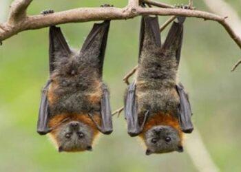 الصين: تحذيرات من خفافيش تحمل أنواعا أخرى من فيروس كورونا