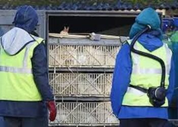 فرنسا: إعدام مليوني بطة بسبب انفلونزا الطيور