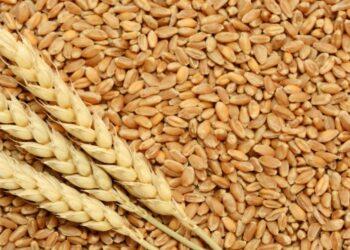 إرتفاع اسعار القمح بنسبة 12،8 بالمائة على مستوى السوق الدولية