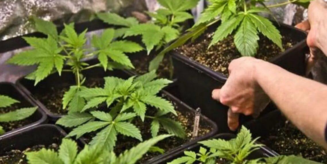 إيطاليا توافق على زراعة القنب الهندي في المنازل